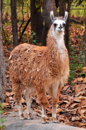 The llama is a domesticated South American camelid, widely used as a meat and pack animal by Andean cultures since pre-Hispanic times  免版税图像