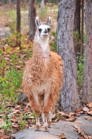 The llama is a domesticated South American camelid, widely used as a meat and pack animal by Andean cultures since pre-Hispanic times  photo