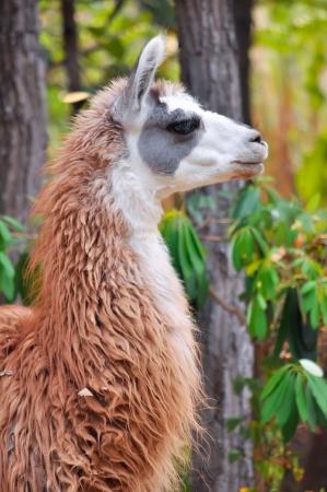 pack animal: La lama ?n addomesticati camelide sudamericano, ampiamente usato come un pacco di carne e animali da culture andine fin dai tempi pre-ispanici Archivio Fotografico
