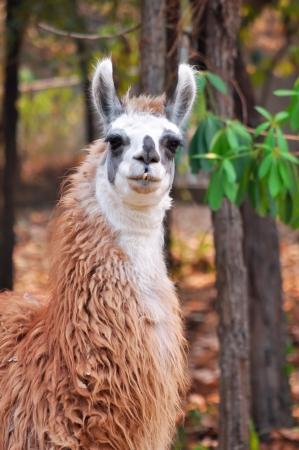 pack animal: La lama � un addomesticati camelide sudamericano, ampiamente usato come un pacco di carne e animali da culture andine fin dai tempi pre-ispanici