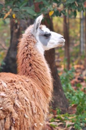 pack animal: La lama ? un addomesticati camelide sudamericano, ampiamente usato come un pacco di carne e animali da culture andine fin dai tempi pre-ispanici