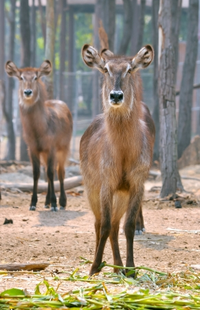 widely: Waterbuck is a large antelope found widely in sub-Saharan Africa  Stock Photo