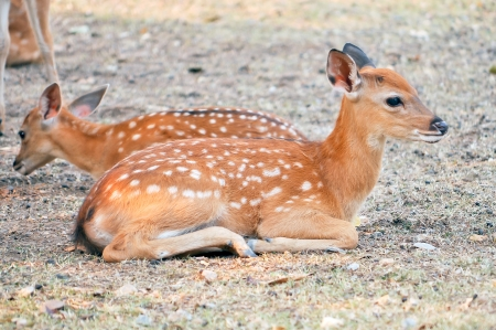 Baby sika deer is reddish-brown with white spots, and spends the first week of its life lying still in long grass, visited by its mother for feeding  photo