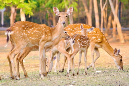 Mother and baby sika deer are resting deer when the weather is hot  Stock Photo