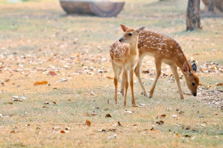 Baby sika deer is reddish-brown with white spots, and spends the first week of its life lying still in long grass, visited by its mother for feeding