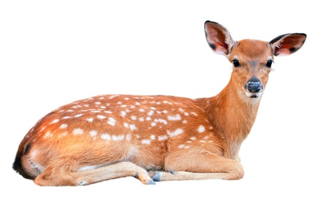 Baby sika deer is reddish-brown with white spots, and spends the first week of its life lying still in long grass, visited by its mother for feeding. 免版税图像