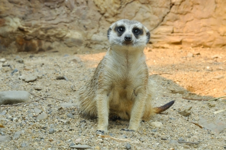 Meerkats live in all parts of the Kalahari Desert in Botswana, in much of the Namib Desert in Namibia and southwestern Angola, and in South Africa  photo