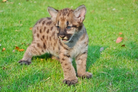 Cougar cubs are born with a full coat of fur  Initially, the fur is a tawny color with black spots on the body and bars on the tail