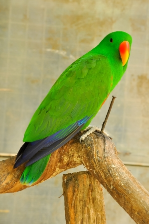 The Eclectus Parrot is a parrot native to the Solomon Islands, Sumba, New Guinea and nearby islands, northeastern Australia and the Maluku Islands. photo