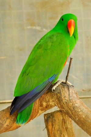 The Eclectus Parrot is a parrot native to the Solomon Islands, Sumba, New Guinea and nearby islands, northeastern Australia and the Maluku Islands. 免版税图像