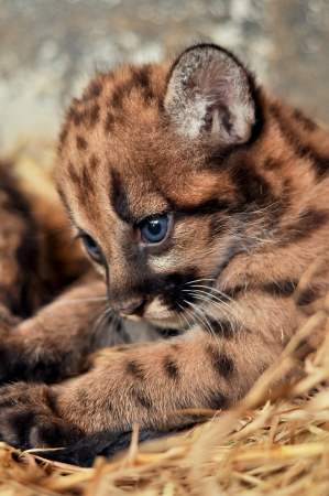 When cougars are born, they have spots, but they lose them as they grow, and by the age of 2 1 2 years, they will completely be gone Stock Photo - 19139607