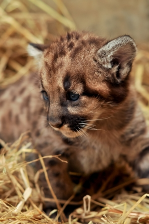 When cougars are born, they have spots, but they lose them as they grow, and by the age of 2 1 2 years, they will completely be gone Stock Photo - 19139599