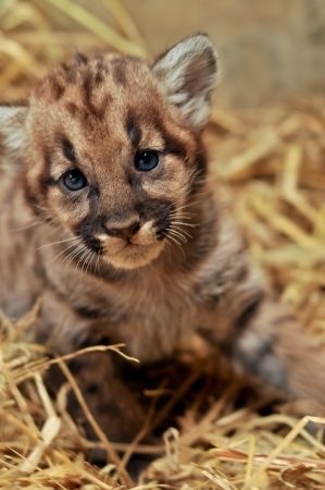 When cougars are born, they have spots, but they lose them as they grow, and by the age of 2 1 2 years, they will completely be gone Stock Photo - 19139596