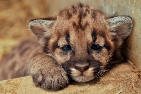 When cougars are born, they have spots, but they lose them as they grow, and by the age of 2 1 2 years, they will completely be gone