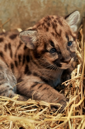 When cougars are born, they have spots, but they lose them as they grow, and by the age of 2 1 2 years, they will completely be gone Stock Photo - 19139602