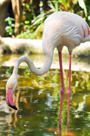 The Greater Flamingo is the most widespread species of the flamingo family  It is found in parts of Africa, southern Asia, and southern Europe  免版税图像
