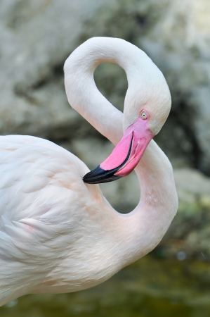 The Greater Flamingo is the most widespread species of the flamingo family  It is found in parts of Africa, southern Asia, and southern Europe  photo