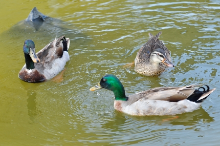 platyrhynchos: Mallard groups can often be seen head dipping or completely upending in the water.