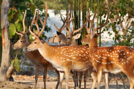 Japanese deer having a brown coat, spotted with white in summer, and a large white patch on the rump