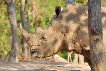 keen: Rhinos have sharp hearing and a keen sense of smell.