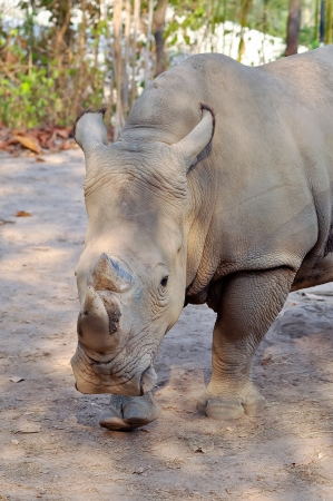 big five: Rhinos have sharp hearing and a keen sense of smell.