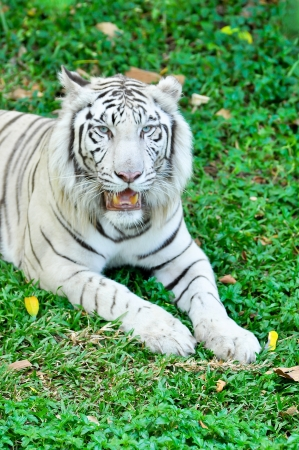 A white tiger in captivity at a zoo. The presence of stripes indicates it is not a true albino. photo