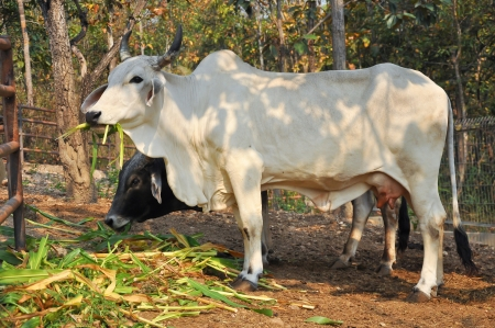 loose skin: The American Brahman breed has a distinct large boil over the top of the shoulder and neck, and a loose flap of skin  dewlap  hanging from the neck
