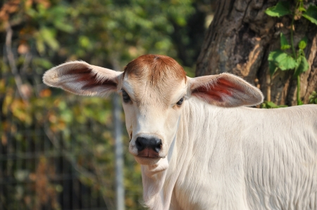 brahman: The American Brahman breed has a distinct large boil over the top of the shoulder and neck, and a loose flap of skin  dewlap  hanging from the neck