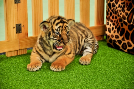 Baby bengal tiger has taken care by the zookeeper photo