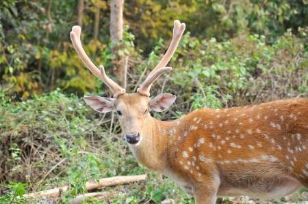 bony: Antlers are the usually large, branching bony appendages on the heads of males of most deer species