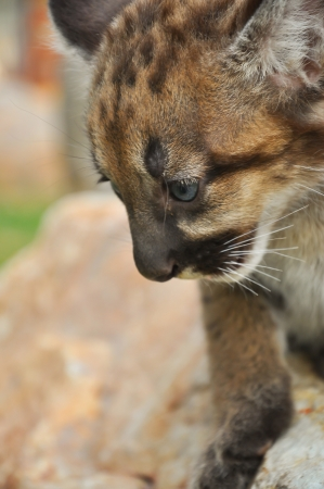 Baby cougars are born after about 91 days of gestation. photo