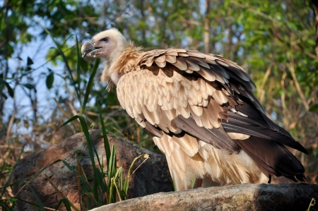 The Himalayan Vulture or Himalayan Griffon Vulture is an Old World vulture photo