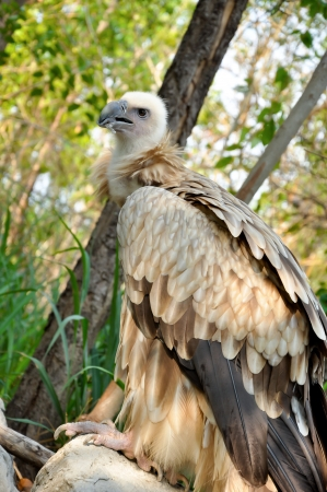 falconry: The Himalayan Vulture or Himalayan Griffon Vulture is an Old World vulture