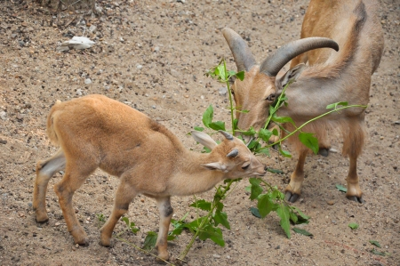 The Barbary sheep is a species of caprid native to rocky mountains in North Africa. photo