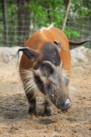 madagascar: Red river hogs will live in a variety of habitats as long as there is dense vegetation Stock Photo
