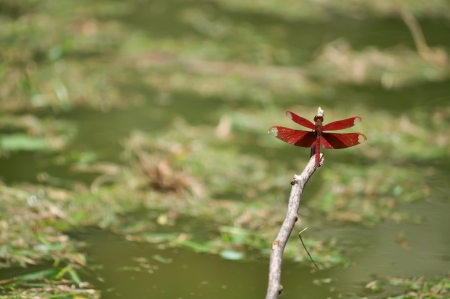 Red dragonfly perched on a twig that was floating in the pool  photo