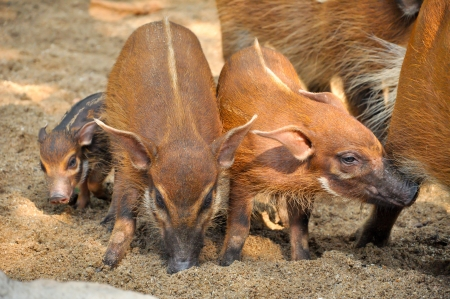 long live: Red river hogs will live in a variety of habitats as long as there is dense vegetation Stock Photo