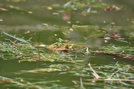 adaptations: Frogs that live in or visit water have adaptations that improve their swimming abilities  Stock Photo