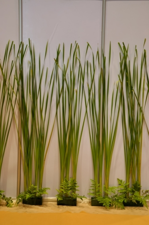 typhus: We can narrow leaf cattail used for decorative building