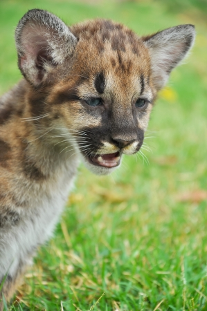 Baby Puma and kitten are very similar  But baby puma is a point along body and will fade as it grow up  photo
