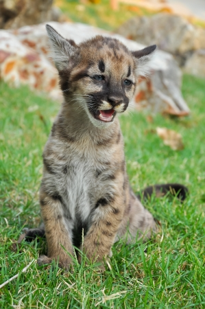 Baby Puma and kitten are very similar  But baby puma is a point along body and will fade as it grow up