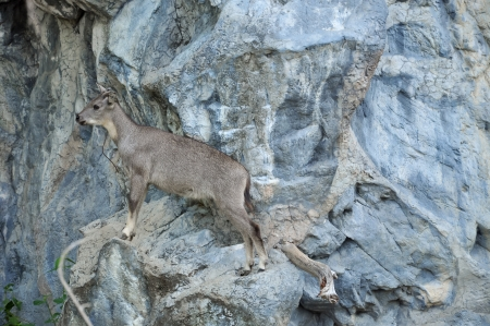 The goral is small ungulates with a goat-like or antelope-like appearance Stock Photo - 21470778