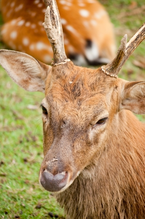 Sika deer are found in the temperate and subtropical forests of eastern Asia photo