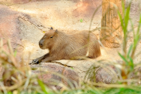 the largest: The capybara is the largest rodent Stock Photo