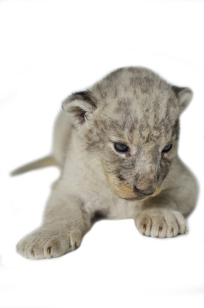 A cute little lion cubs on the white background  photo