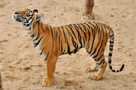 The Bengal tiger is the most numerous tiger subspecies  photo