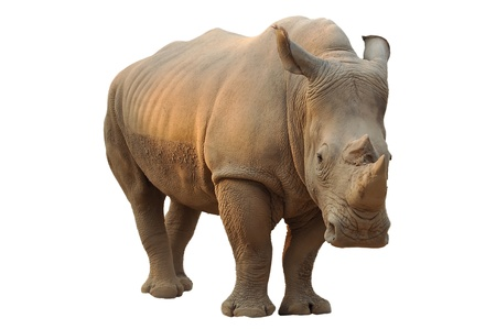 White rhino has a wide mouth used for grazing and is the most social of all rhino species