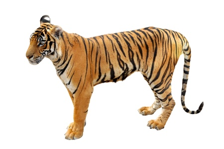 subspecies: The Bengal tiger is the most numerous tiger subspecies  Stock Photo