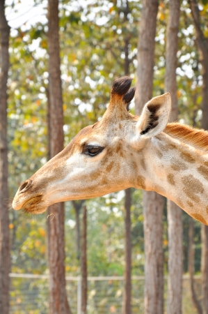A giraffe Stock Photo - 21472015