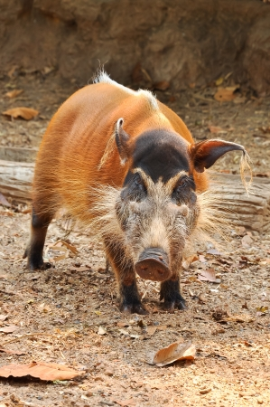 The red river hog, also known as the bush pig, is a pig living in Africa.